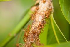Aphid-Herding Ants Stock Image
