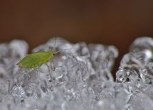 Aphid on Ice - Macro Photography - United Kingdom. Small tiny aphid on ice in plant pot in the open air. Macro Photography, taken in the United Kingdom royalty free stock image