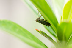 Aphid insect in green nature Royalty Free Stock Photo