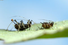 Aphid on leaf Stock Photo