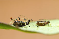 Aphid on leaf Royalty Free Stock Image