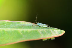 Aphid on a leaf Royalty Free Stock Photo