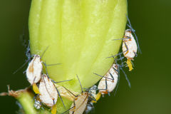 Aphid. Many large aphids give birth to small aphid Royalty Free Stock Images