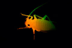 An aphid Royalty Free Stock Images