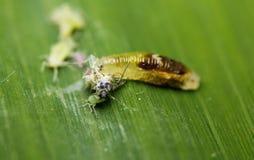 Aphidoletes aphidimyza &蚜虫 免版税库存图片