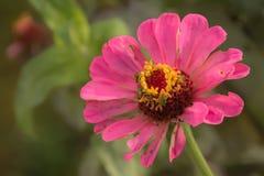 Aphids και λουλούδια Στοκ εικόνες με δικαίωμα ελεύθερης χρήσης