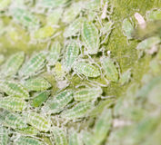 Aphids σε ένα πράσινο φύλλο κλείστε Στοκ Φωτογραφίες