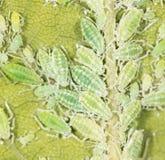 Aphids σε ένα πράσινο φύλλο κλείστε Στοκ εικόνες με δικαίωμα ελεύθερης χρήσης