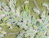 Aphids σε ένα πράσινο φύλλο κλείστε Στοκ Εικόνες