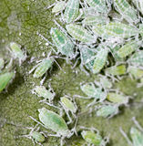 Aphids σε ένα πράσινο φύλλο κλείστε Στοκ φωτογραφία με δικαίωμα ελεύθερης χρήσης