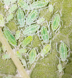 Aphids σε ένα πράσινο φύλλο κλείστε Στοκ Φωτογραφία