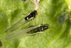 Aphids σε ένα πράσινο φύλλο στη φύση Στοκ φωτογραφίες με δικαίωμα ελεύθερης χρήσης