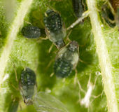 Aphids σε ένα πράσινο φύλλο στη φύση Στοκ εικόνα με δικαίωμα ελεύθερης χρήσης