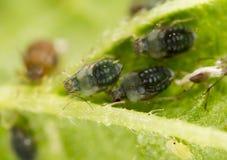 Aphids σε ένα πράσινο φύλλο στη φύση Στοκ εικόνες με δικαίωμα ελεύθερης χρήσης
