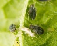 Aphids σε ένα πράσινο φύλλο στη φύση Στοκ Φωτογραφίες