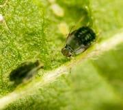 Aphids σε ένα πράσινο φύλλο στη φύση Στοκ Εικόνες