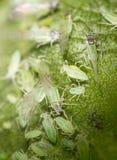 Aphids σε ένα φύλλο στη φύση Μακροεντολή Στοκ εικόνα με δικαίωμα ελεύθερης χρήσης