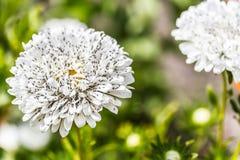 Aphids στα άσπρα λουλούδια Στοκ εικόνες με δικαίωμα ελεύθερης χρήσης