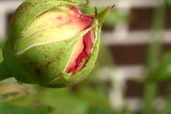 Aphids στο μπουμπούκι τριαντάφυλλου Στοκ Φωτογραφία