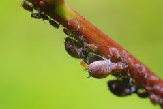 aphids τοποθέτηση νεοσσών Στοκ φωτογραφία με δικαίωμα ελεύθερης χρήσης