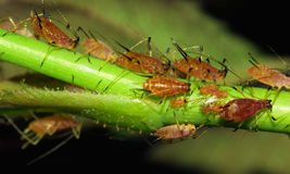 Aphids Royalty Free Stock Photography