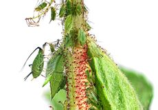 aphids Στοκ Εικόνες