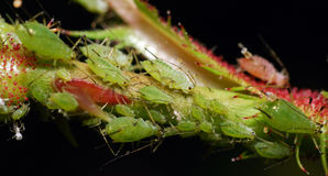 Aphids Stock Images