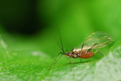 Aphids Stock Photography