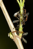 And aphids Stock Photography