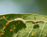 Aphids Aphidoidea superfamily , Monarch Caterpillar and fly on common milkweed leaf. Asclepias syriaca royalty free stock photos