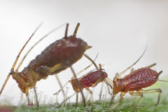 Aphids Stock Image