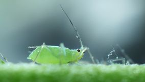 Aphids close-up on the stem stock video footage
