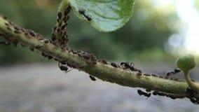 Aphids en mieren stock video
