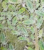Aphids on a green leaf. close Royalty Free Stock Photography