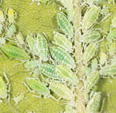 Aphids on a green leaf. close. A photo royalty free stock images