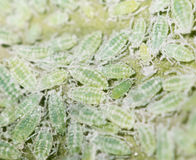 Aphids on a green leaf. close. A photo stock photos
