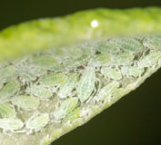 Aphids on a green leaf. close. A photo stock photo
