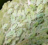 Aphids on a green leaf. close. A photo stock images