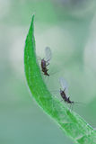 Aphids Royalty Free Stock Photos