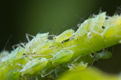 Aphids on morning glory Stock Images