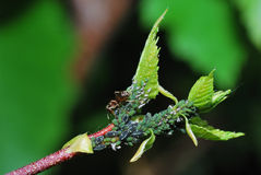 Aphids oblique Royalty Free Stock Photo