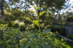 Aphids op een Spirea Bush 1 Stock Afbeeldingen