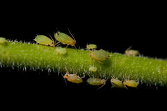 Aphids on plant. Many aphids on a plant stem close-up with black background Stock Image