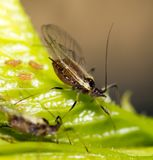 Aphids on the plant. macro. In the park in nature royalty free stock image