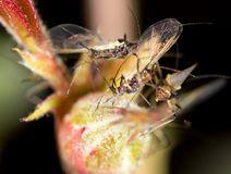 Aphids on the plant. macro. In the park in nature stock image
