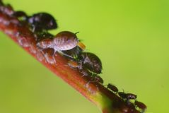 Aphids.Putting chicks. Aphids on branch.Macro,close-up shot Royalty Free Stock Photo