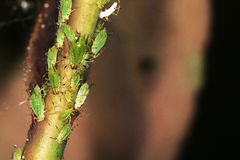Aphids on Rose. Royalty Free Stock Photo