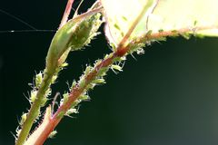 Aphids on rose-backlit stock photo