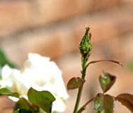 Aphids on a rose. A rose bud infested with Aphids royalty free stock images