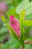 Aphids on rose Stock Image